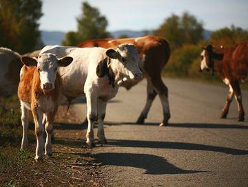 Въехал в коров